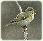 De Fitis is een veelvoorkomende vogel in de regio.