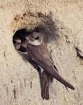 Oeverzwaluw bij nestingang