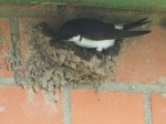 Huiszwaluw bouwt van klei en speeksel een nest. Foto Pieter Visser