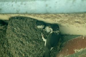 Huiszwaluw voert jongen. Foto Ronald van Zon