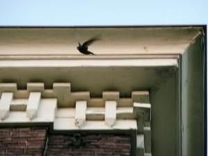 Een Gierzwaluw vliegt net uit zijn nest. Foto Erwin Robbertz