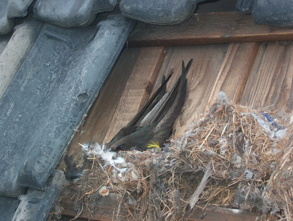 Gierzwaluw, Margriet de Hooge